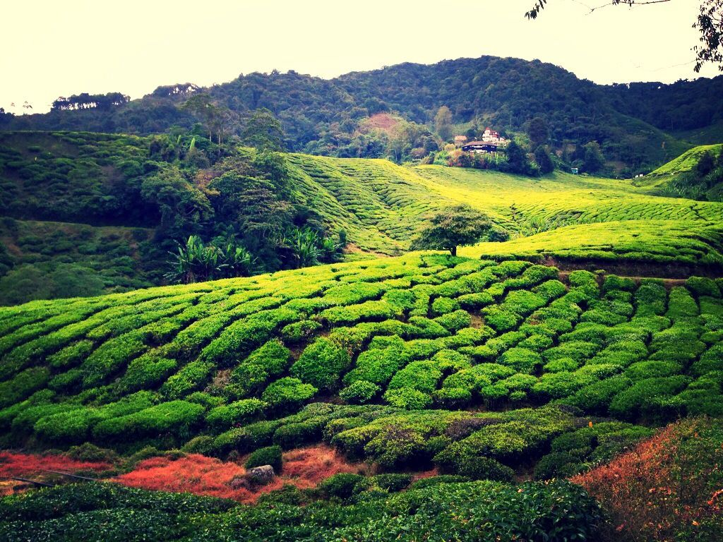 cameron highland trip essay Essay about holiday in cameron highland greatest repository to cameron highland of quality sample essays and research reports on vacation how-to compose an expository composition with illustrations contoh soal essay straightforward pasttense good school article introduction illustrations.