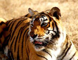 Forti, Tigri e Taj