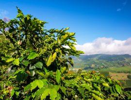 Colombia, aroma di caffè