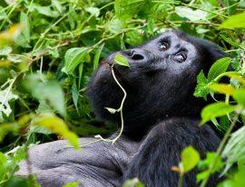 Uganda, il Regno dei Gorilla