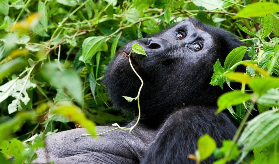 UGANDA, IL REGNO DEI GORILLA – SPECIALE UBUNTU 18  GENNAIO 2020