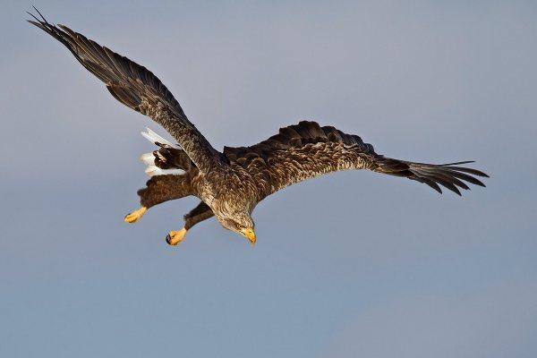 Aquila di mare codabianca